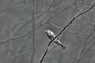 Photograph - Common Chaffinch  #e2 by Leif Sohlman