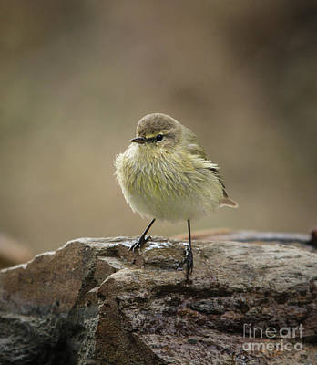 Photograph - Common Chiffchaff, Phylloscopus Collybita by Perry Van Munster