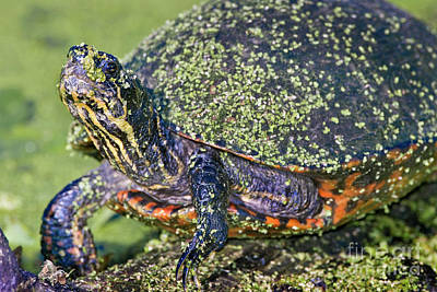 Cooter Photograph - Common Cooter by Patrick M Lynch