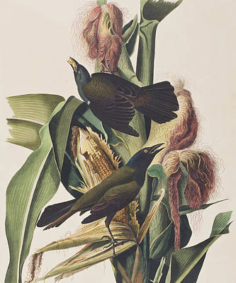 Blackbird Drawing - Common Crow by John James Audubon