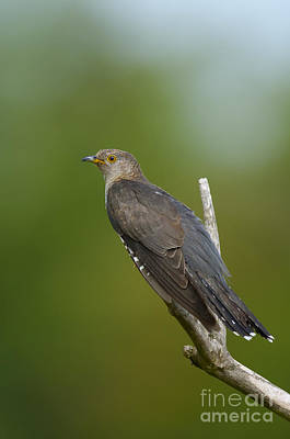 Cuckoo Photograph - Common Cuckoo by Steen Drozd Lund