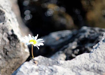 Flower Photograph - Common Daisy On The Les Cheneaux Shore by Codee Hart