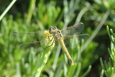 Photograph - Red Veined Darter Dragonfly On Crete by Paul Cowan