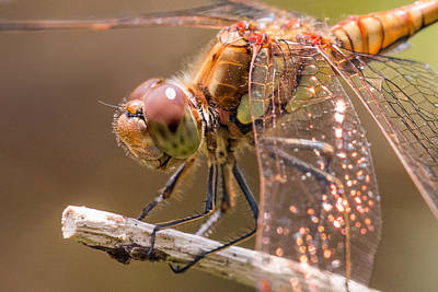 Macro Dragonfly Photograph - Common Darter by Ian Hufton