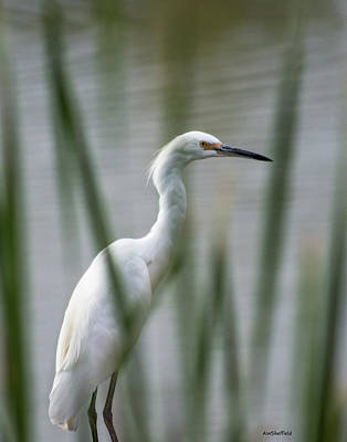 Photograph - Common Egret by Allen Sheffield