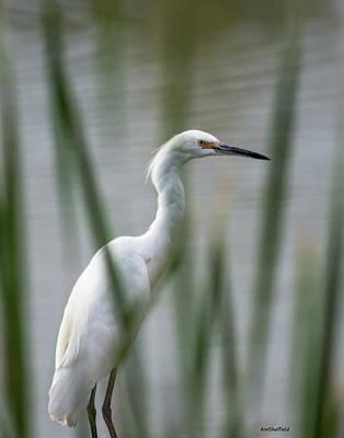 Photograph - Common Egret by Allen Sheffield
