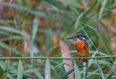 Photograph - Common, Eurasian Or River Kingfisher, Alcedo Atthis, Switzerland by Elenarts - Elena Duvernay photo