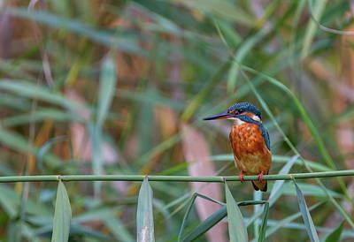 Photograph - Common, Eurasian Or River Kingfisher, Alcedo Atthis, Switzerland by Elenarts - Elena Duvernay photo