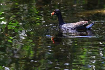 Photograph - Common Gallinule by Carol Montoya