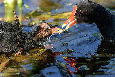 Photograph - Common Gallinule Chick Thankful For The Food by Debra Martz