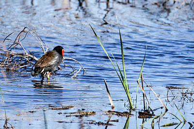 Photograph - Common Gallinule by Gary Wightman
