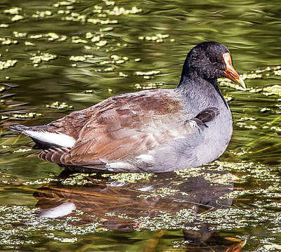 Photograph - Common Gallinule by Richard Goldman