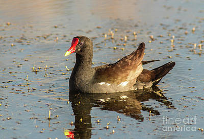Cabin Window Photograph - Common Gallinule by Robert Frederick