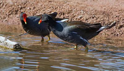Photograph - Common Gallinule by Tam Ryan