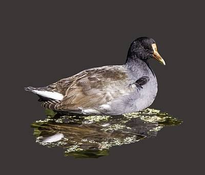 Photograph - Common Gallinule Transparency by Richard Goldman