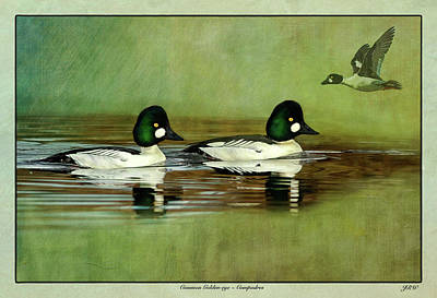 John Williams Digital Art - Common Golden-eye Drakes With Flyer by John Williams