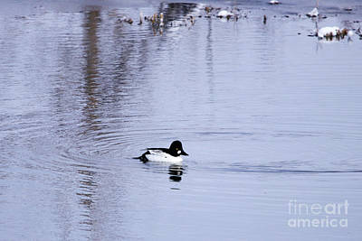 Photograph - Common Goldeneye by Alyce Taylor