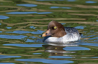 Photograph - Common Goldeneye Close by Mike Fitzgerald