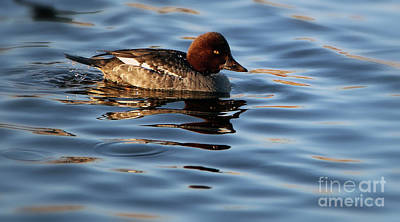 Photograph - Common Goldeneye Hen by Elizabeth Winter