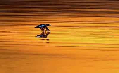 Ornithology Photograph - Common Goldeneye  Flying Across Gold by Hsa Htaw