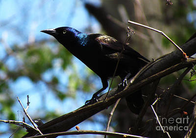 Common Grackle Art Print by Deborah Johnson