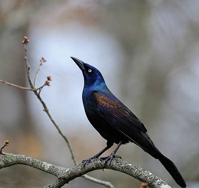 Photograph - Common Grackle by Diane Giurco