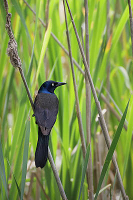 Photograph - Common Grackle Spring by Bill Wakeley