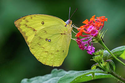 Photograph - Common Grass Yellow Butterfly by Vishwanath Bhat