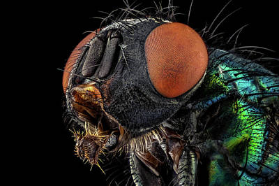 Photograph - Common Green Bottle Fly by Mihai Andritoiu