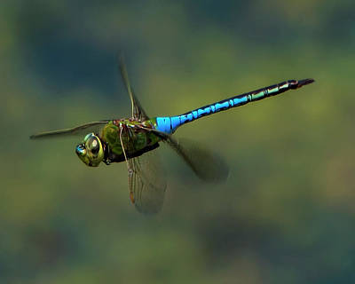 Common Green Darner In Flight Print by Mark Preston