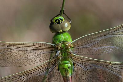 Photograph - Common Green Darner by Robert Potts