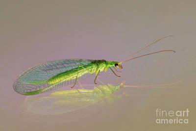 Chrysopidae Photograph - Common Green Lacewing - Chrysoperla Carnea by Jivko Nakev