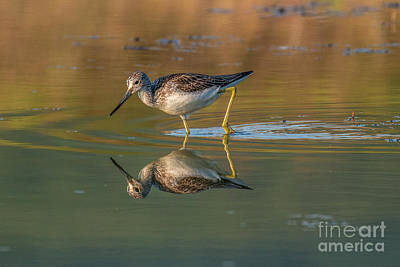 Photograph - Common Greenshank - Tringa Nebularia by Jivko Nakev