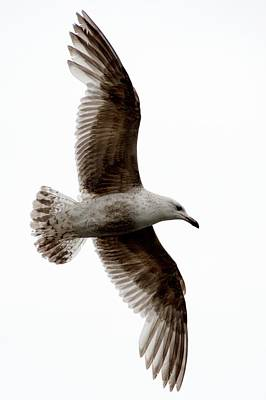 Photograph - Common Gull by Chris Day