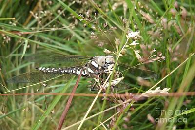 Libellule Photograph - Common Hawker In Hiding by Justin Farrimond
