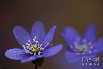 Common Hepatica Flowers Art Print by Per-Olov Eriksson