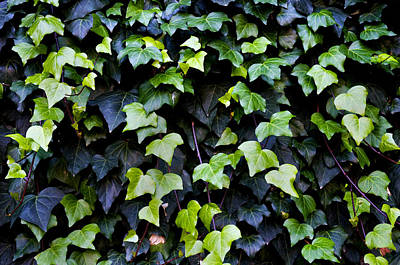 Photograph - Common Ivy by Fabrizio Troiani