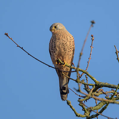 Photograph - Common Kestrel Blue Sky by Matt Malloy