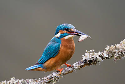 Print featuring the photograph Common Kingfisher 1 by Phil Stone