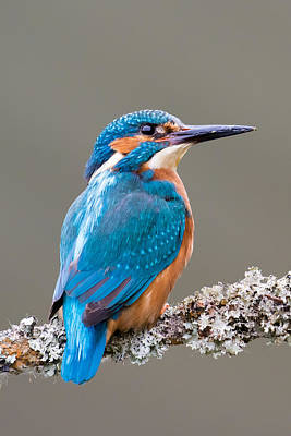 Print featuring the photograph Common Kingfisher 2 by Phil Stone