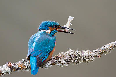 Photograph - Common Kingfisher In The Uk by Phil Stone