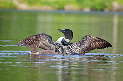 Nature Photograph - Common Loon Dad And Baby by Donna Doherty