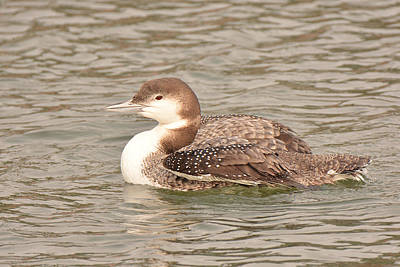 Photograph - Common Loon, Juvenile by Alan Lenk