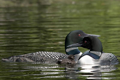 Photograph - Common Loon by Michel Legare