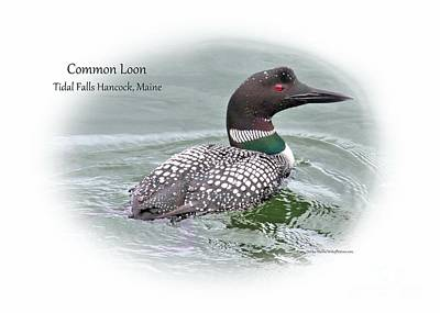 Photograph - Common Loon Tidal Falls Maine by Debbie Stahre