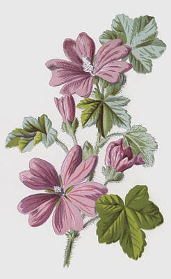 Pink Flower Drawing - Common Mallow by Frederick Edward Hulme