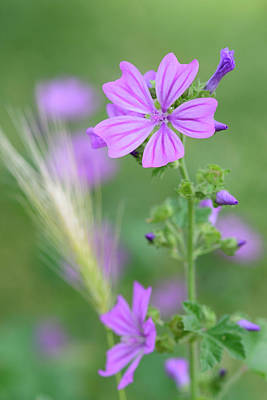 Photograph - Common Mallow Plant by Keith Boone