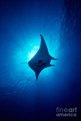 Photograph - Common Manta Ray by Ed Robinson - Printscapes