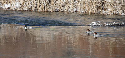 Photograph - Common Merganser Family by Ron Monsour