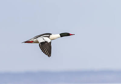 Common Merganser Wall Art - Photograph - Common Merganser In Flight 2014-1  by Thomas Young